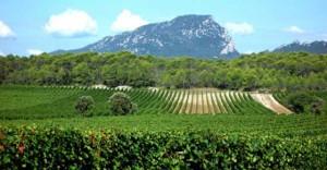L Olive Languedoc Roussillon L Olive
